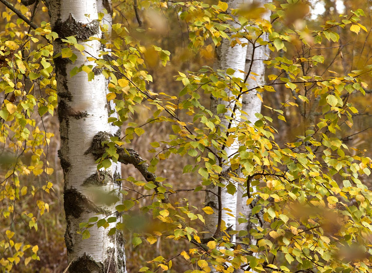 Birch leaves turn yellow and drop in October.