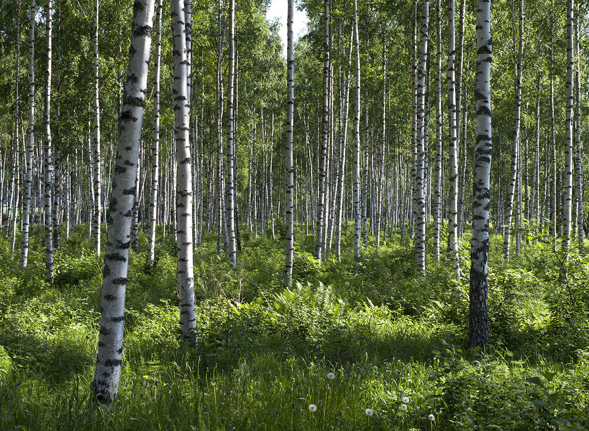Birch forests are are very green in the summertime.