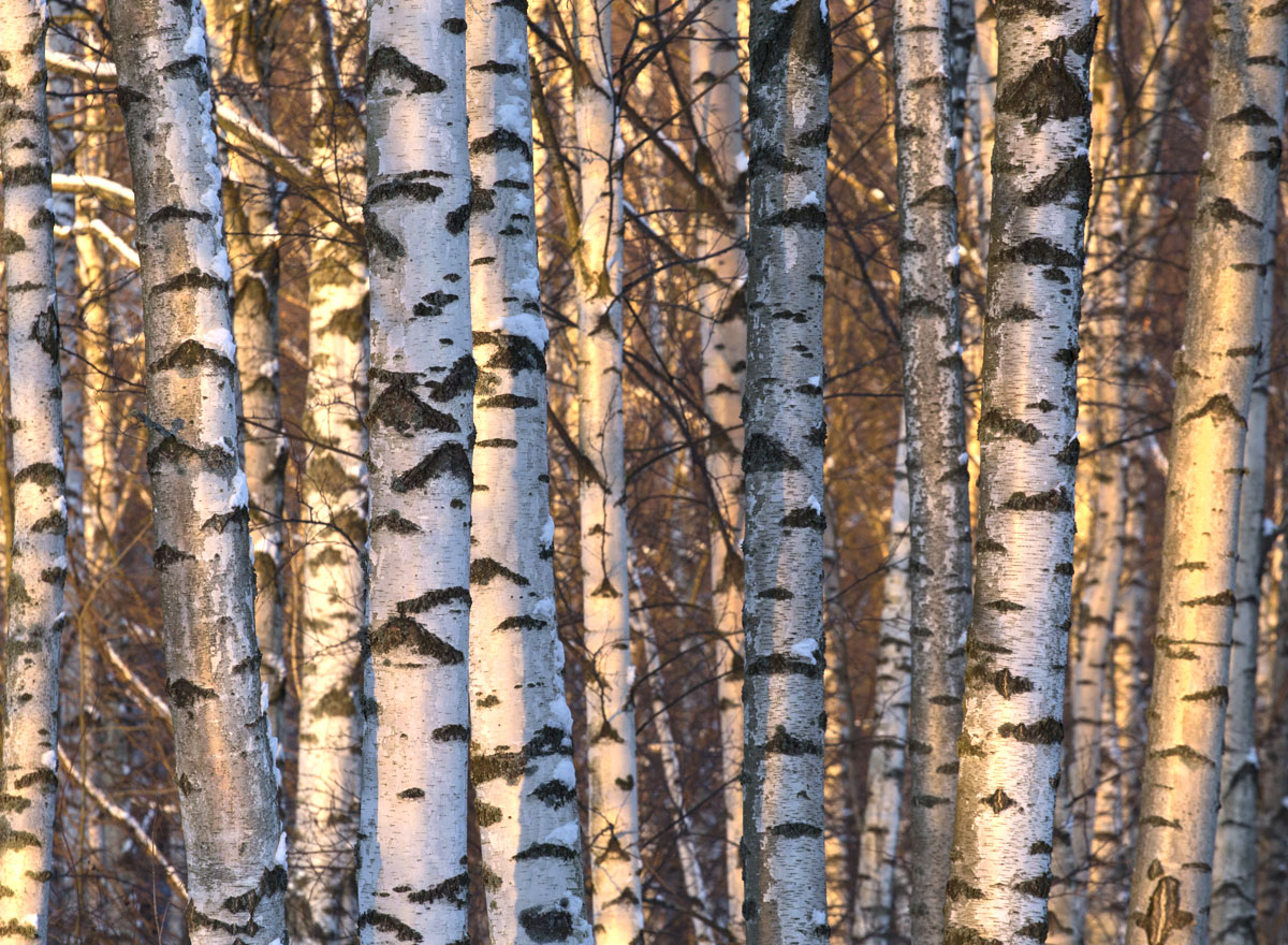 A Finnish birch forest on a sunny winter afternoon.