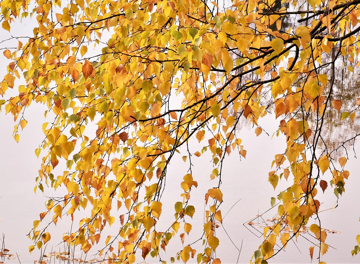 Birch leaves turn yellow and drop in October. Photo by Rauno Korhonen.